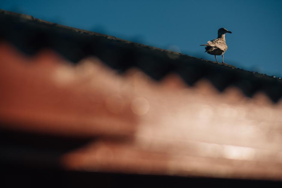 svolvaer bird